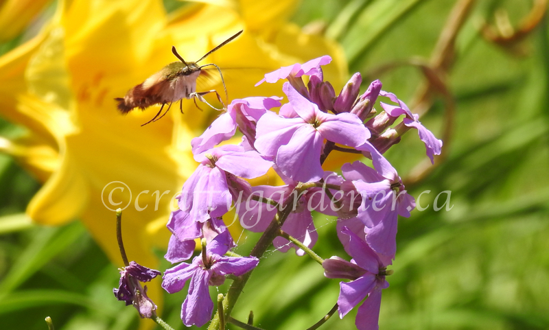 the clear wing hummingbird moth at craftygardener.ca