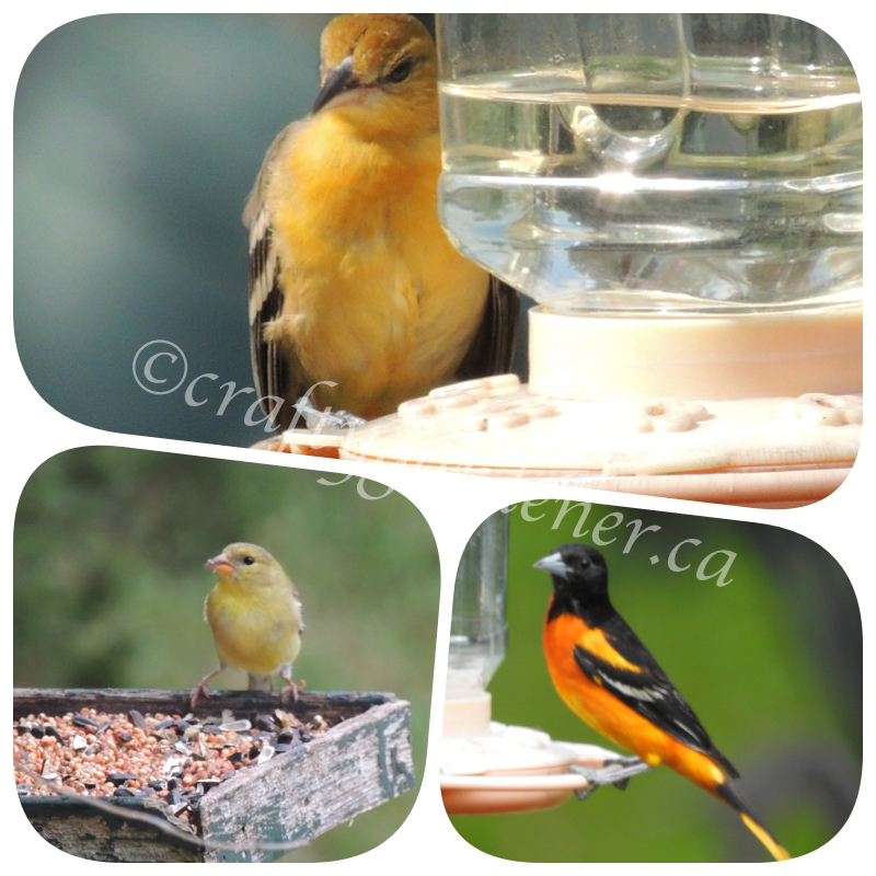 orioles and goldfinches at craftygardener.ca