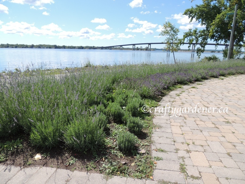 lavender garden on the waterfront trail