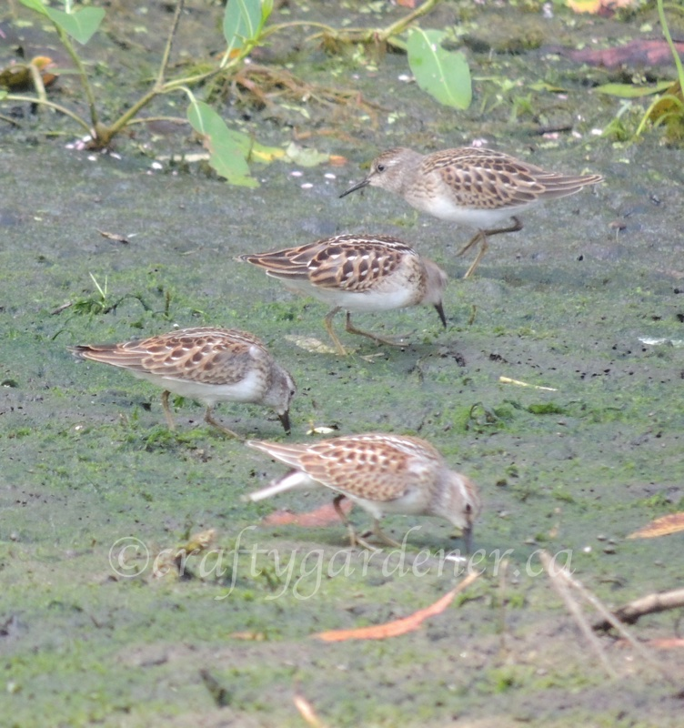 least sandpipers down by the Bay of Quinte photo by craftygardener.ca
