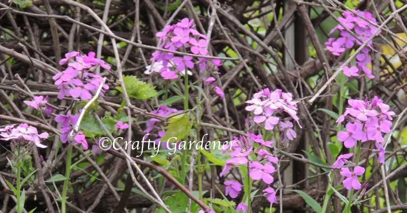 pink phlox in bloom tangled in with the grapevine