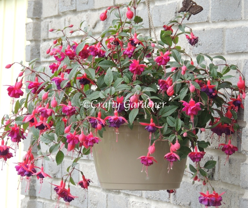 fuchsia in the hanging baskets