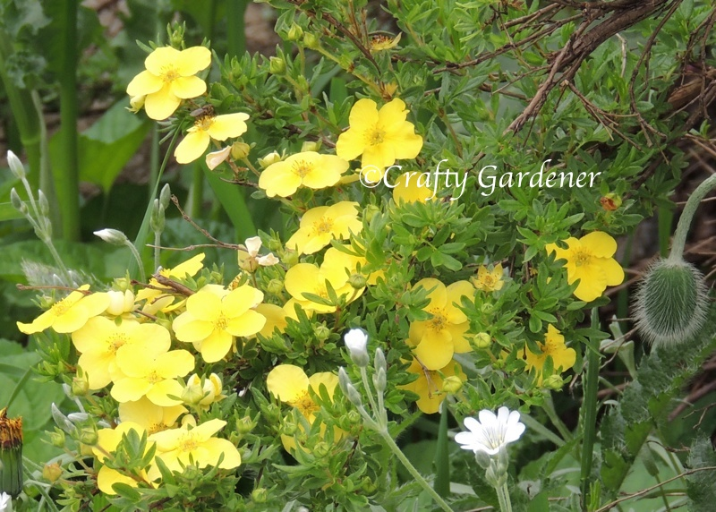 yellow potentilla blooms