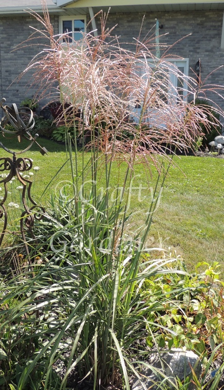 plimes on the miscanthus at craftygardener.ca