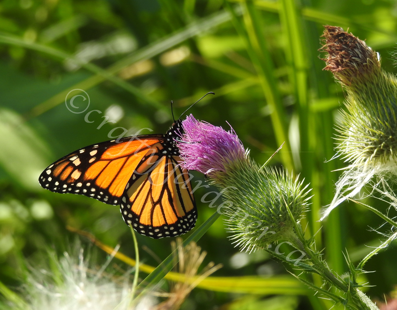 a monarch on a thistle at craftygardener.ca