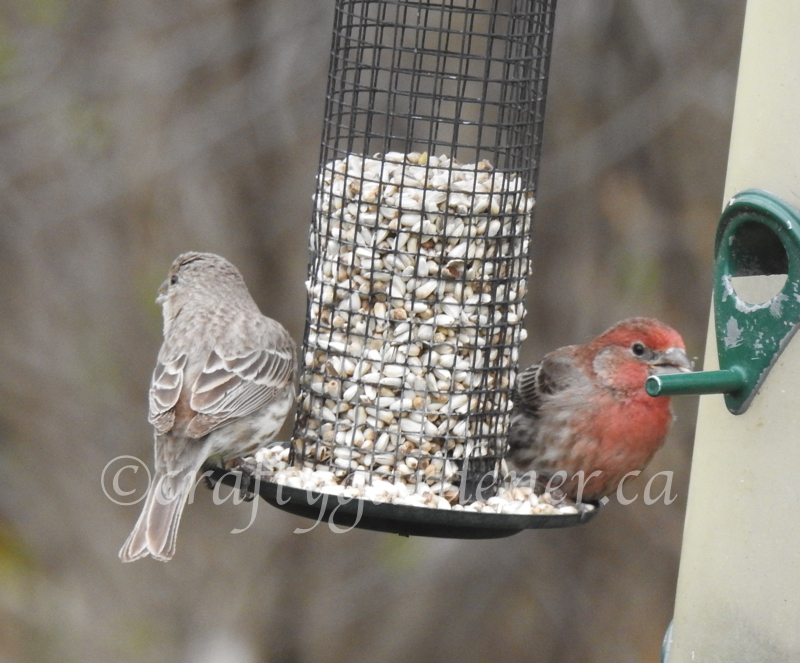 Mr & Mrs House Finch at craftygardener.ca
