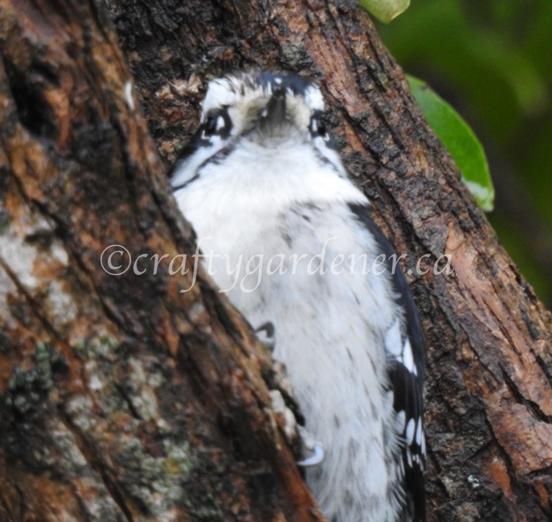 downy woodpecker at craftygardener.ca
