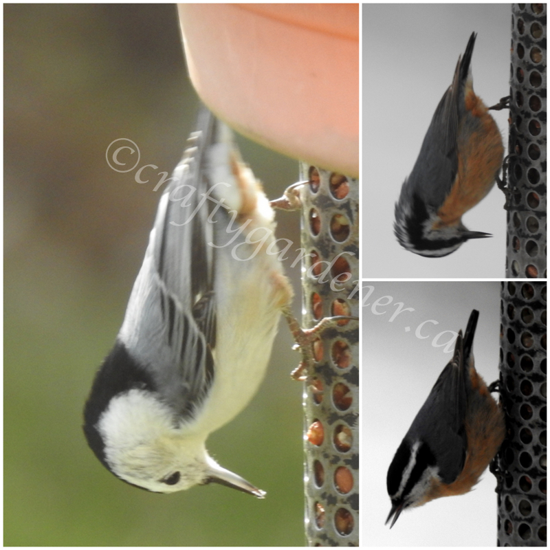 the nuthatches at craftygardener.ca