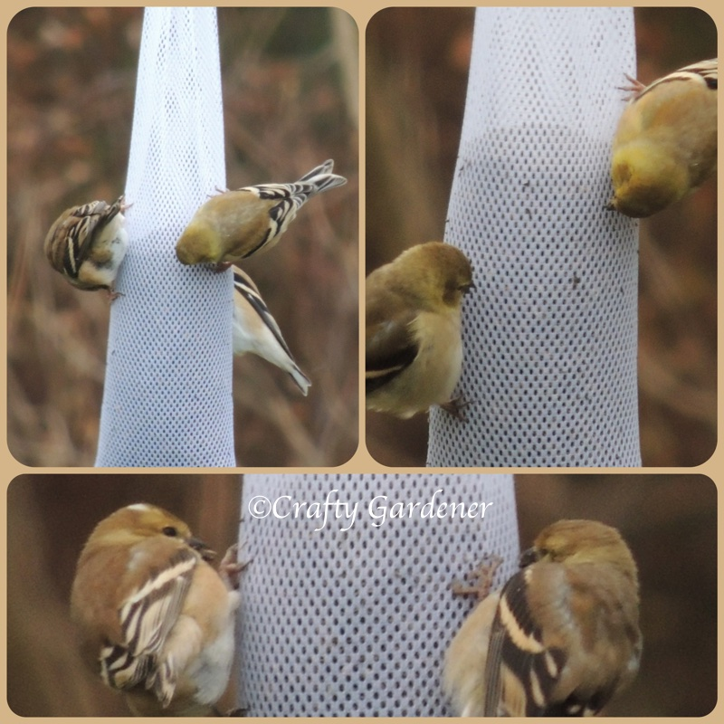 goldfinches at the nyjer sock feeder at craftygardener.ca