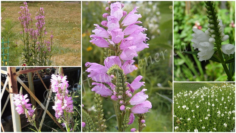 obedient plant at craftygardener.ca