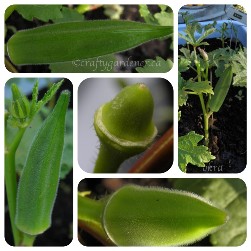 growing okra in Cdn garden zone 5b at craftygardener.ca