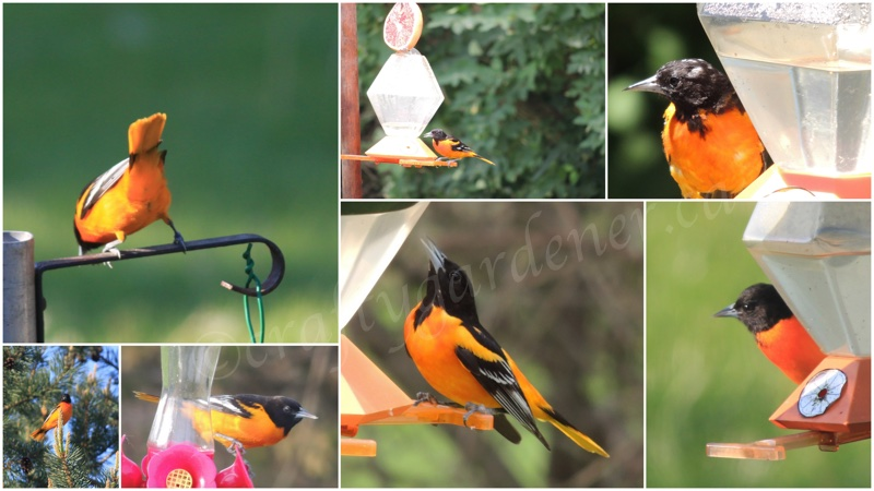 the orange orioles at craftygardener.ca
