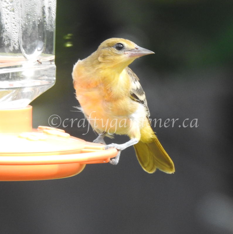 a young oriole at the feeder at craftygardener.ca