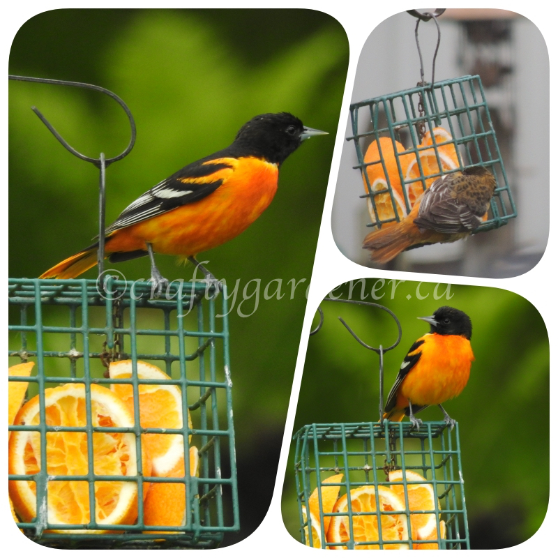 orioles at craftygardener.ca