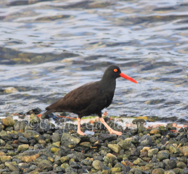 oyster catcher at Whiffen Spit, Sooke, British Columbia