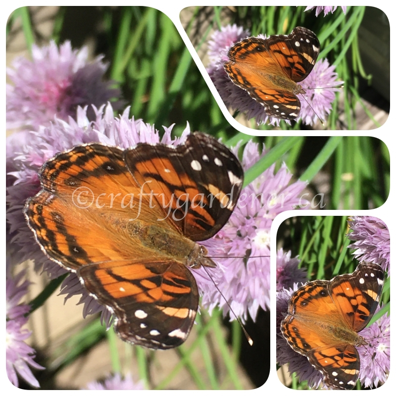 the painted lady butterfly at craftygardener.ca