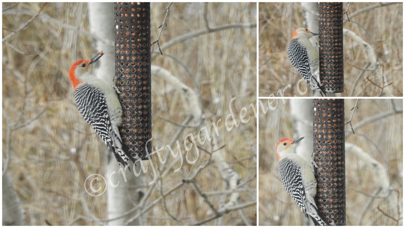 red bellied woodpecker at the feeder at craftygardener.ca