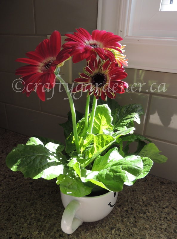 pot of gerbera daisies at craftygardener.ca