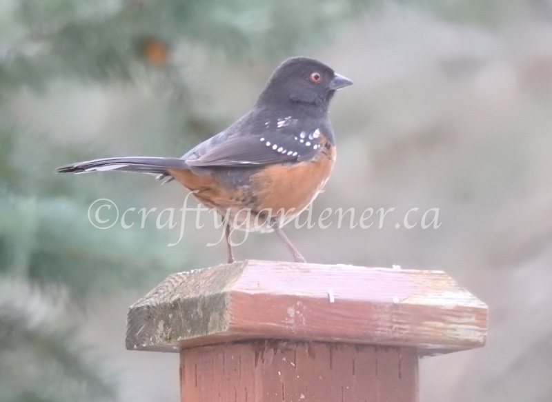 the spotted towhee at craftygardener.ca