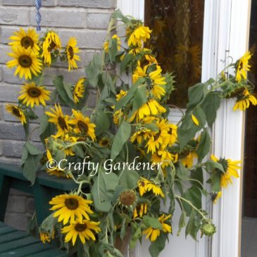 Helianthus are Sunflowers