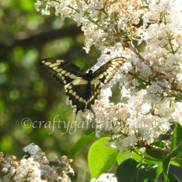 the swallowtail butterfly at craftygardener.ca