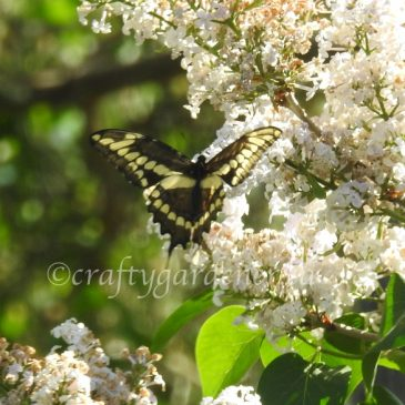 The Swallowtails