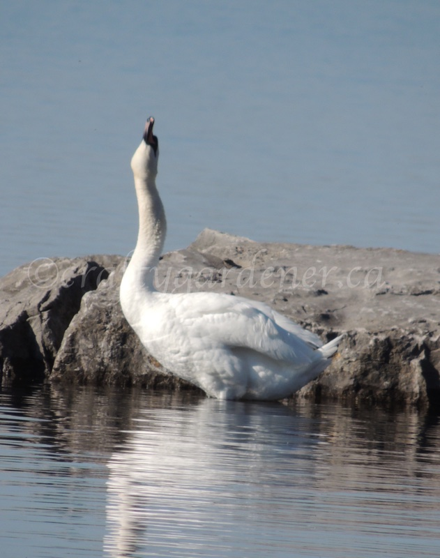 swans at the Bay of Quinte by craftygardener.ca