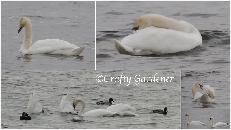 swans down by the bay on November 28, 2014