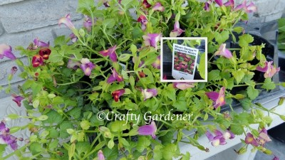 trailing torenia for the tipsy pots