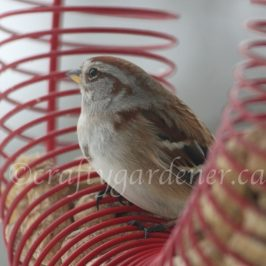 a tree sparrow at craftygardener.ca