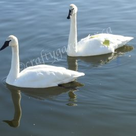 trumpeter swans in the Wellington Harbour, Ontario, Canada