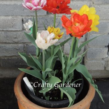 The Pots of Tulips