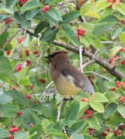 waxwing1a