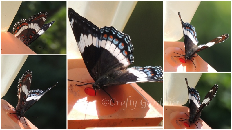 white admiral butterfly at the oriole feeder - craftygardener.ca