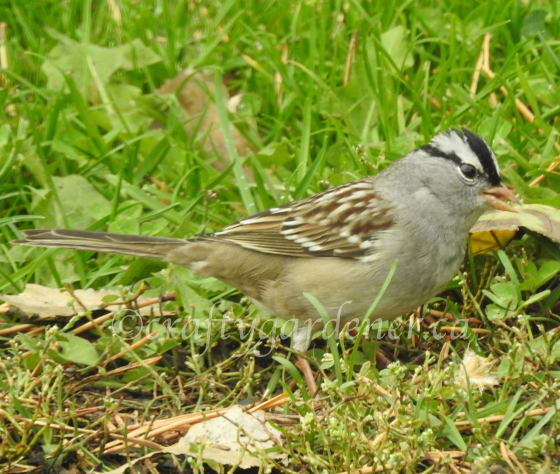 white crowned sparrows at craftygardener.ca