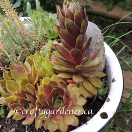 a washtub succulent planter at craftygardener.ca