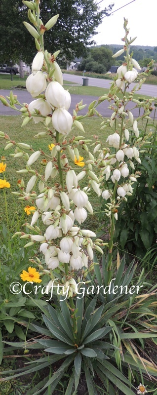 tall flower spikes on the yucca plants, summer 2014, craftygardener.ca