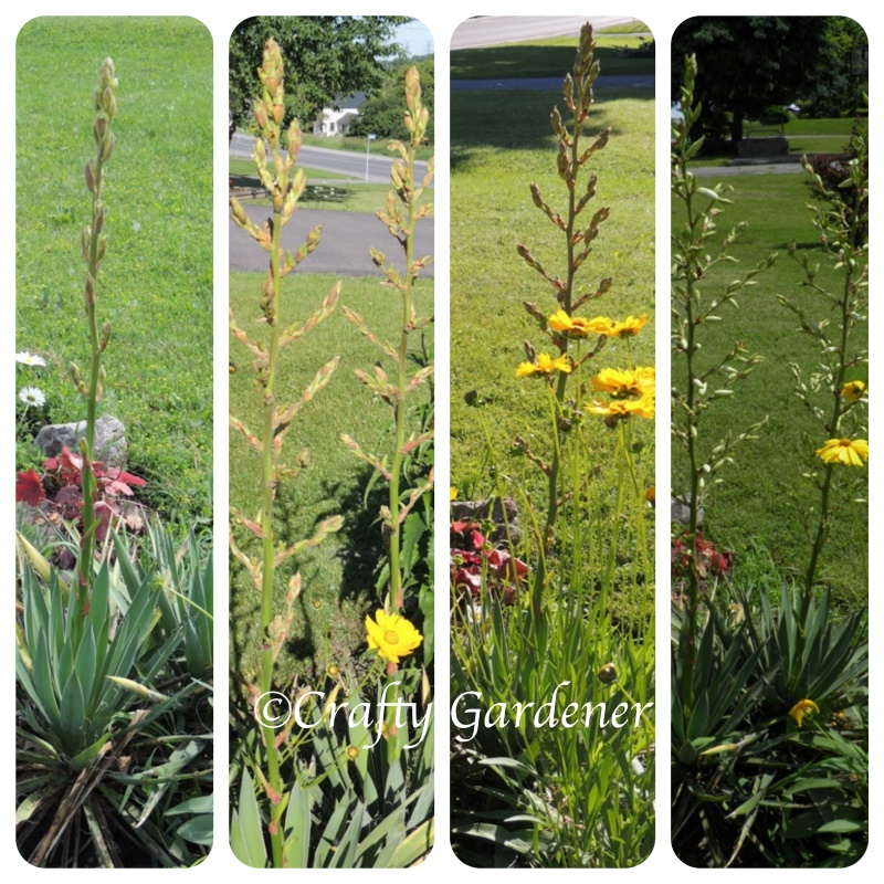 flower spikes getting taller and taller, summer 2014, craftygardener.ca